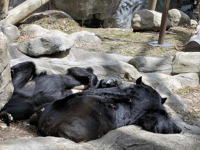 Moon Bears Napping at Roger Williams Park Zoo